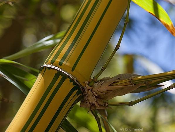 Bambusa-vulgaris-Vittata-_19[1]